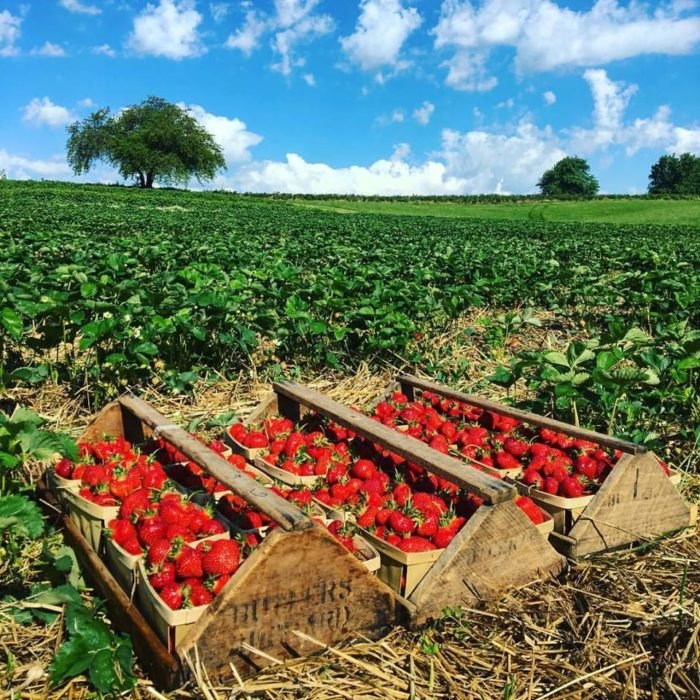 7 Sweetest Pick-Your-Own Berry Farms In Maryland