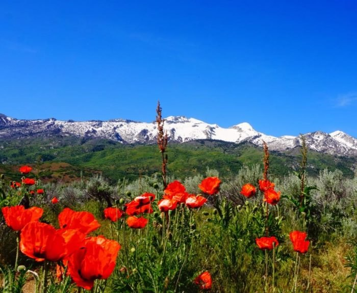 There's A Poppy Field In Alpine, Utah That You Have To See