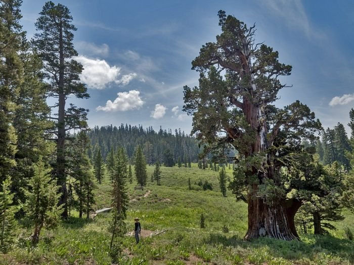The Oldest Juniper Tree In America Is Right Here In Northern California And It's An Extraordinary Sight To See