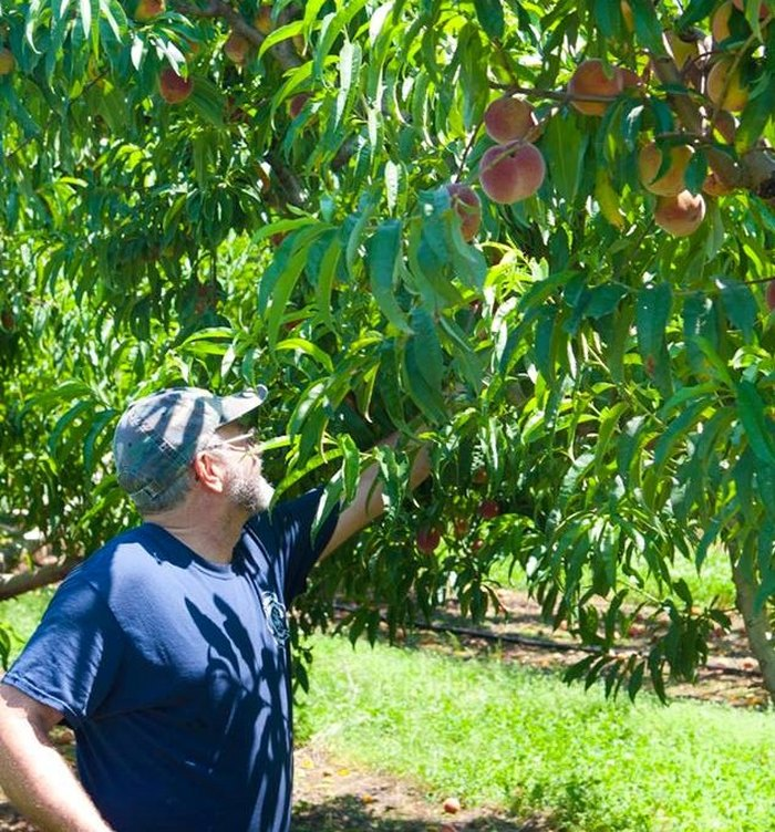 Cadron Crest Orchard Has Pick-Your-Own Peaches For A Sweet ...