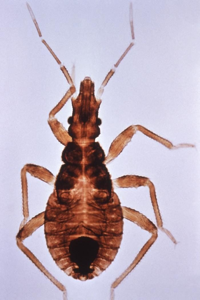 The Kissing Bug Is A Deadly Bug That Has Been Spotted In