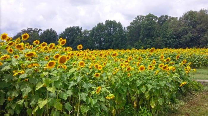 u-pick sunflowers in south carolina