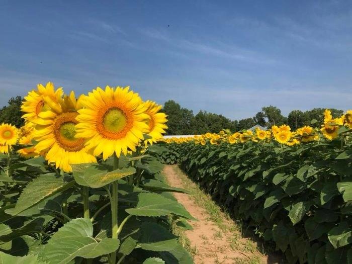 Sunflower Field Near Paris - Flowers Healthy