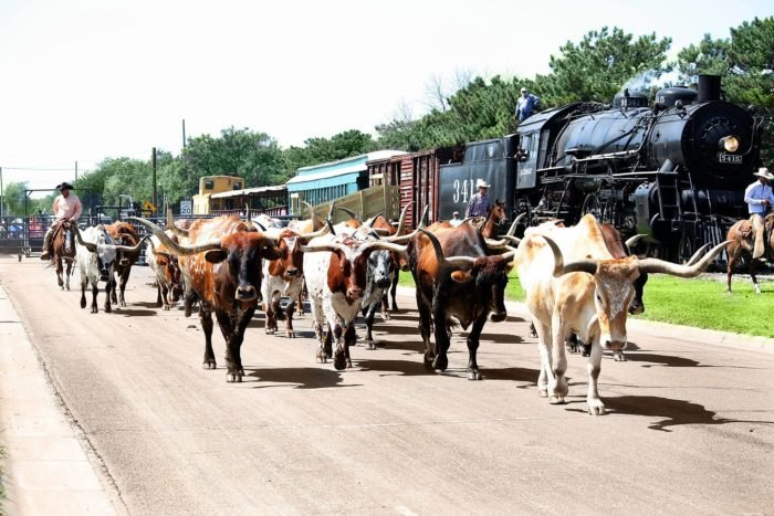 Longhorn cattle walking next to an old train at the railroad.
