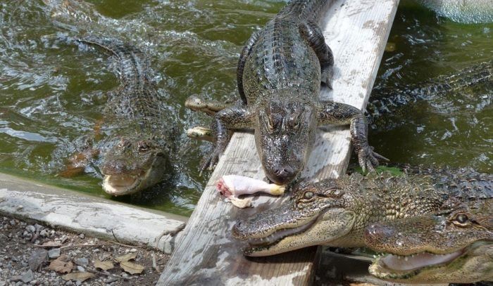 Alligators at the Arkansas Alligator Farm