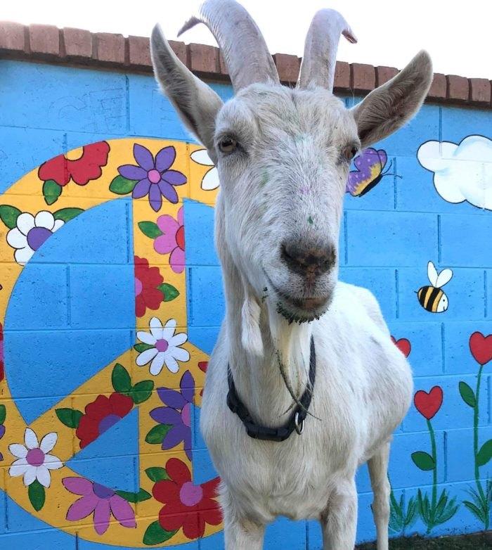 Goats With Horns Sanctuary Goat Arizona