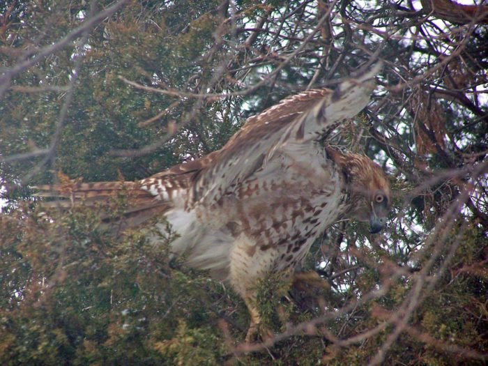 Great Falls Park Hawk in Virginia
