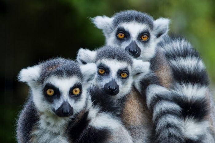 Lemurs at Arkansas Alligator Farm