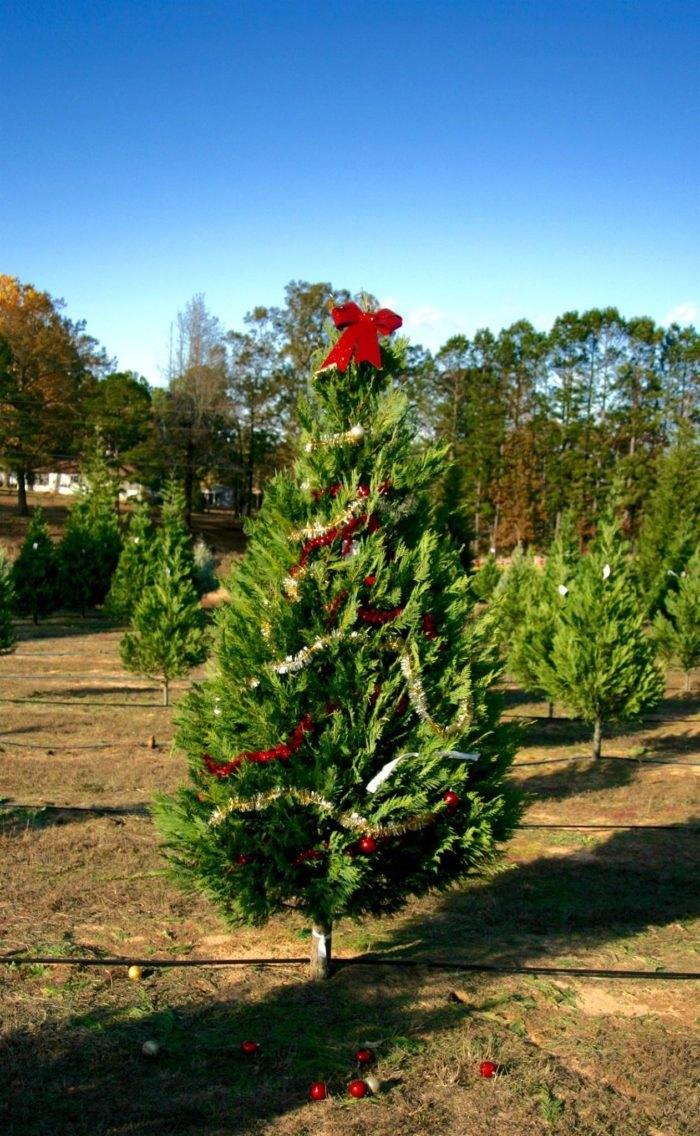 Motley's Tree Farm Christmas Tree Arkansas