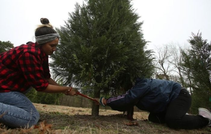 Motley's Tree Farm Cutting A Tree Arkansas
