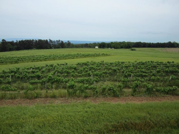 Wiederkehr Wine Cellars Grapes Arkansas