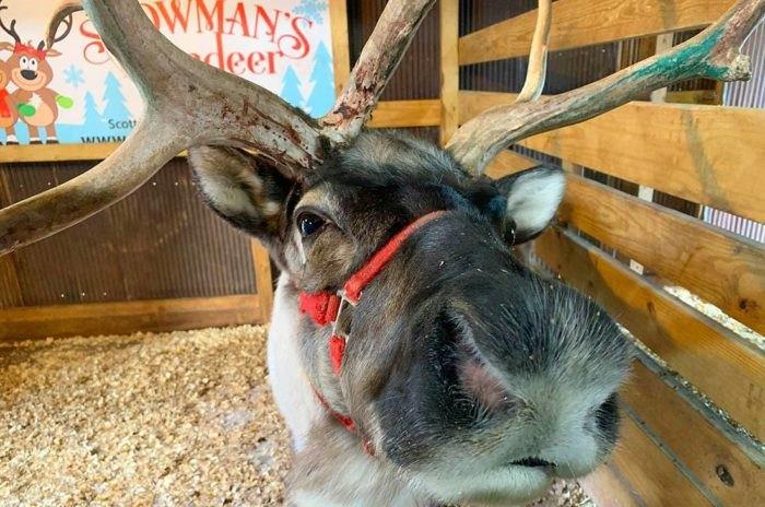 Canton Illinois Reindeer