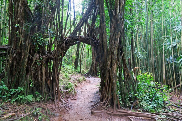 an arched tree on the Manoa Falls Trail in Hawaii
