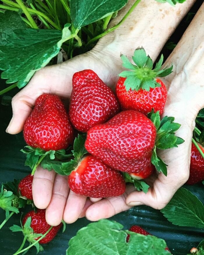 fresh strawberries from Mike's Farm in North Carolina