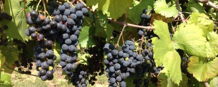 grapes at Majestic Oak Winery in Ohio