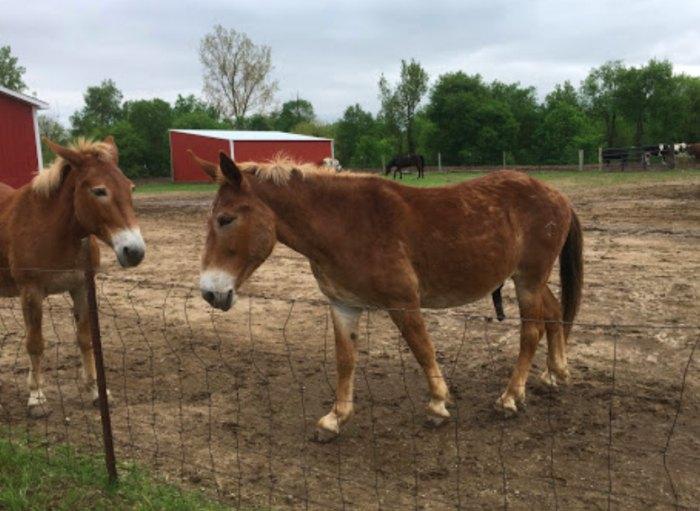 two horses at SASHA Farm Animal Sanctuary in Michigan
