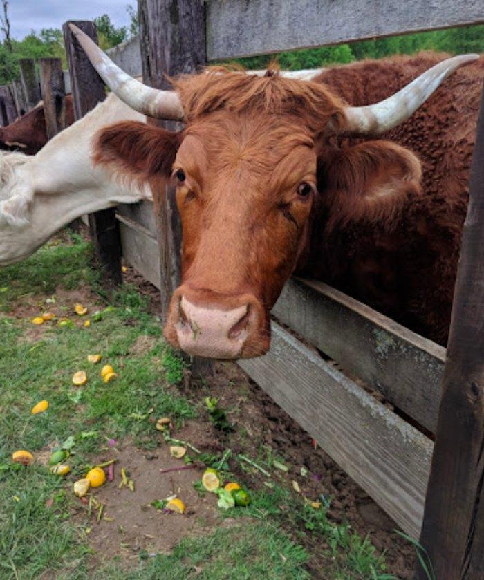 cattle at SASHA Farm Animal Sanctuary in Michigan