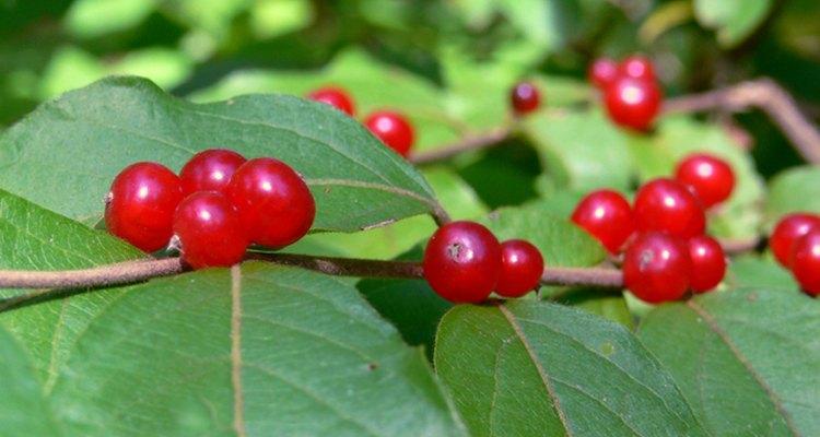 http://canalphotos.org/10-15_canal_honeysuckle_berries_2_PS_rz.jpg