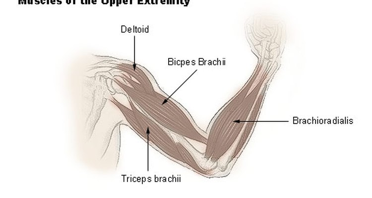 Arm muscle groups