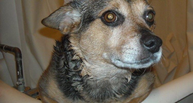 Sigue las instrucciones para usar champú de humanos en tu perro.