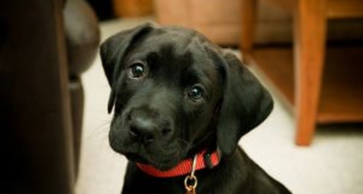 Labrador é uma das raças de cachorros mais populares no mundo.