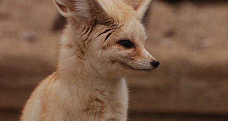 Fennec fox. kuribo/Flickr.com
