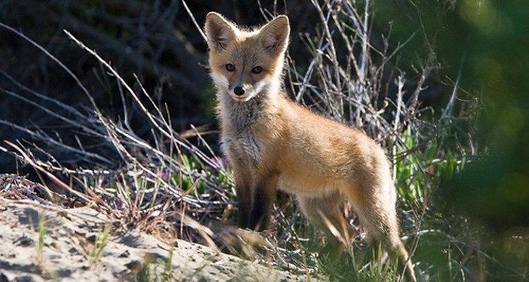 Red fox pup. mikebaird/Flickr.com