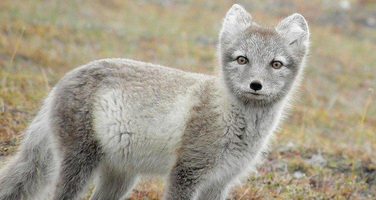 Arctic fox. billyboy/Flickr.com