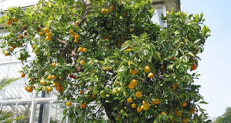 Los naranjos de deben plantar o trasplantar en otoño o primavera.