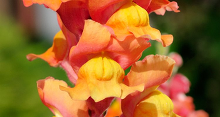 The snapdragon is a feature of British gardens.