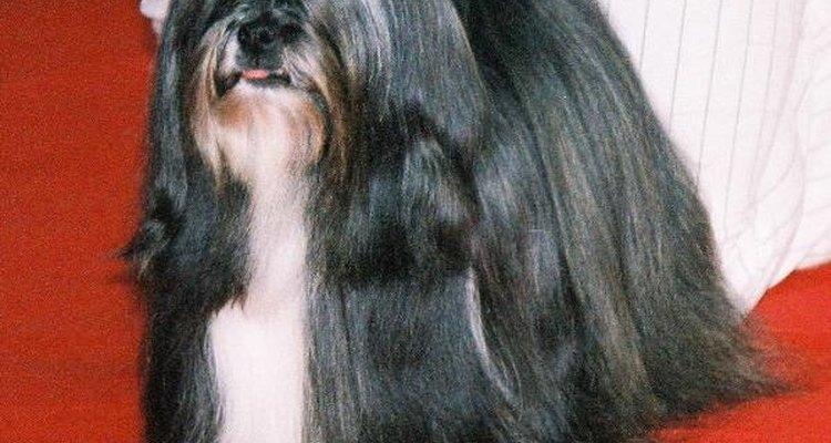 Os cães ds raça lhasa apso devem ser socializados desde cedo