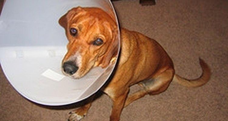 Asegúrate de darle a tu perro mucho cariño durante su recuperación de la cirugía.