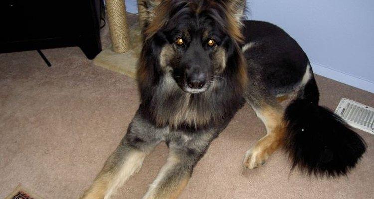 Es esencial encontrar la alimentación adecuada para un perro que sufre de una fístula perianal.