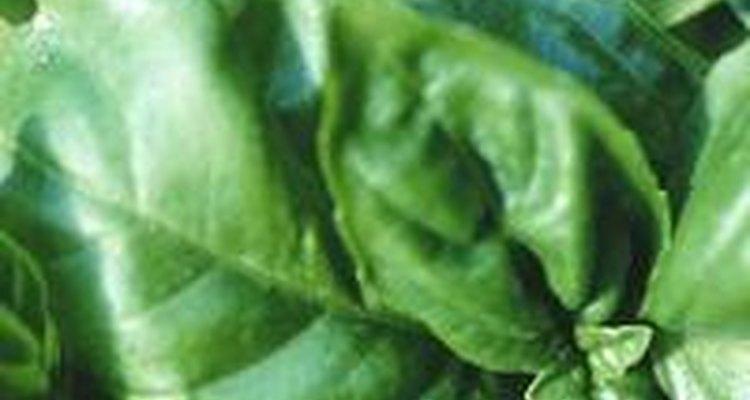 El verde intenso de la albahaca se transfiere bien al plato.