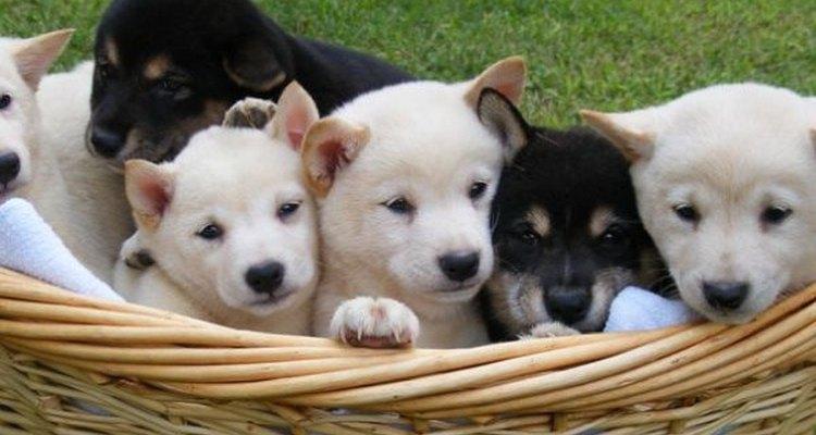 ¿Cómo puede alguien resistirse a una canasta llena de cachorros?