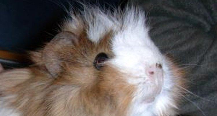 A constipação pode ser séria nos porquinhos-da-índia