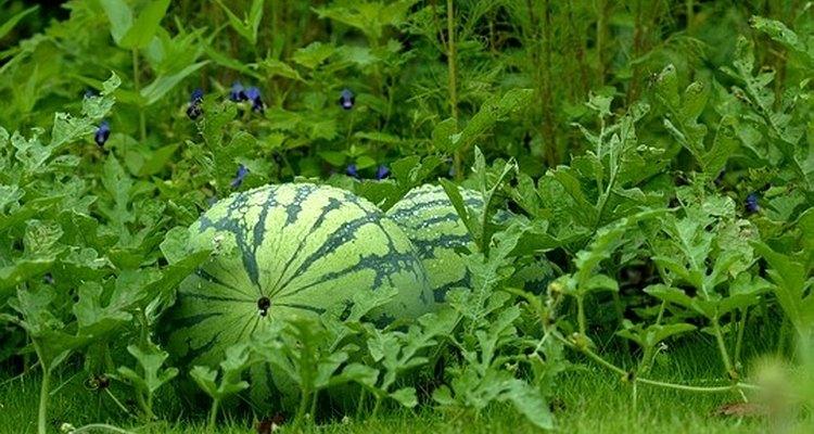 A melancia, conhecida no meio botânico como Citrullus lanatus, é um vegetal parente do pepino e nativa da África