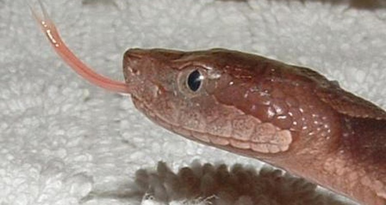 La pupila de una serpiente puede ser clave para determinar si es venenosa. Si lo es, una mordida puede ser mortal.