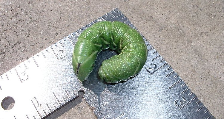 Elimina los gusanos picudos del tomate en forma natural.