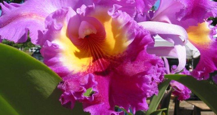 Los lirios son flores magníficas que rápidamente puede superar tu colchón de flores.