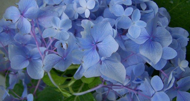 Hay muchas variedades y colores de hortensias.