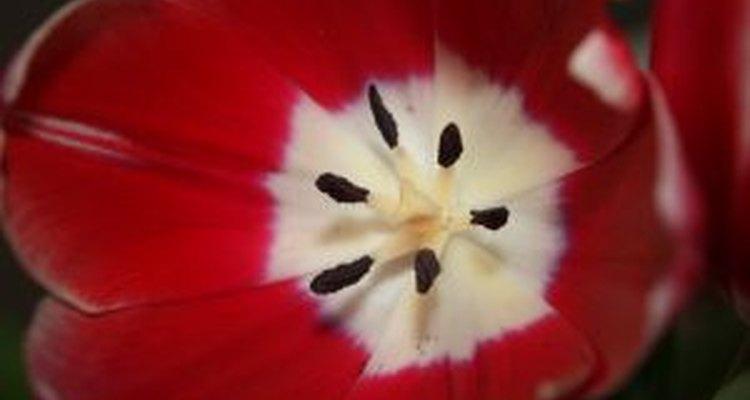 Aprenda a cultivar tulipas na água para decorar sua casa o ano inteiro