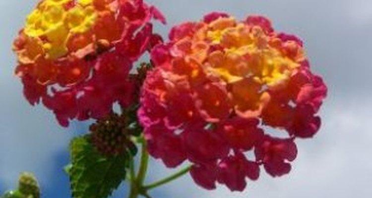 Las coloridas flores de la lantana.