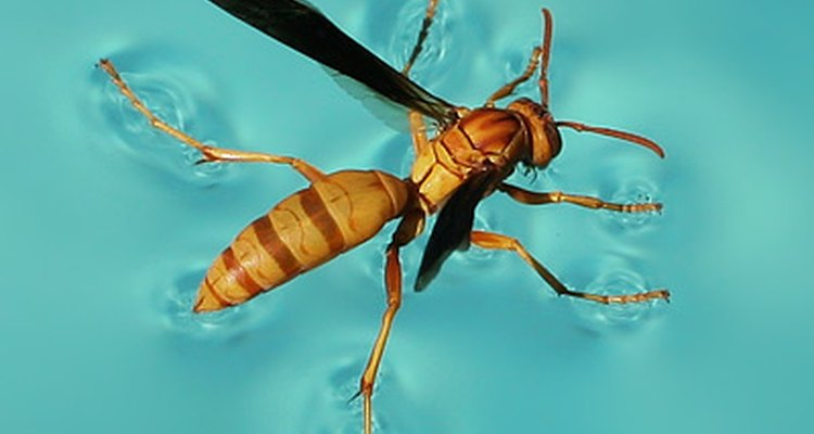 Paper Wasp in Pool