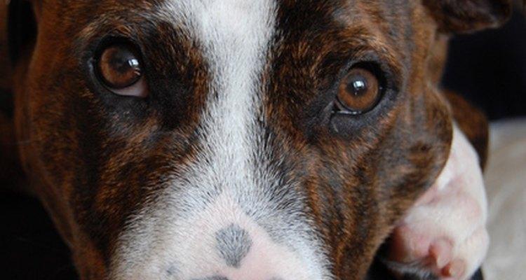 Tu perro te mirará pidiéndote ayuda cuando está enfermo.