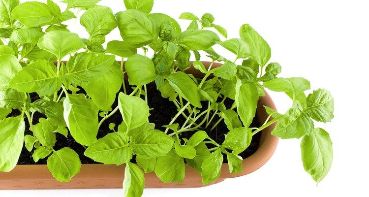 Mantén tu planta de albahaca sana.