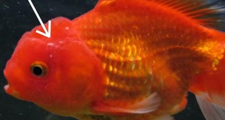 El ich crece rápidamente en las peceras y se puede convertir en un peligro para tus peces.