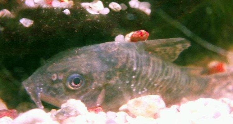 El ich puede ser confundido con hongos por los puntos blancos que se forman en el pez.