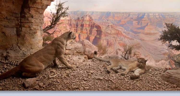 Lion diorama at the American Museum of Natural History