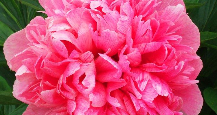 Los rododendros son un agregado bonito para un jardín.